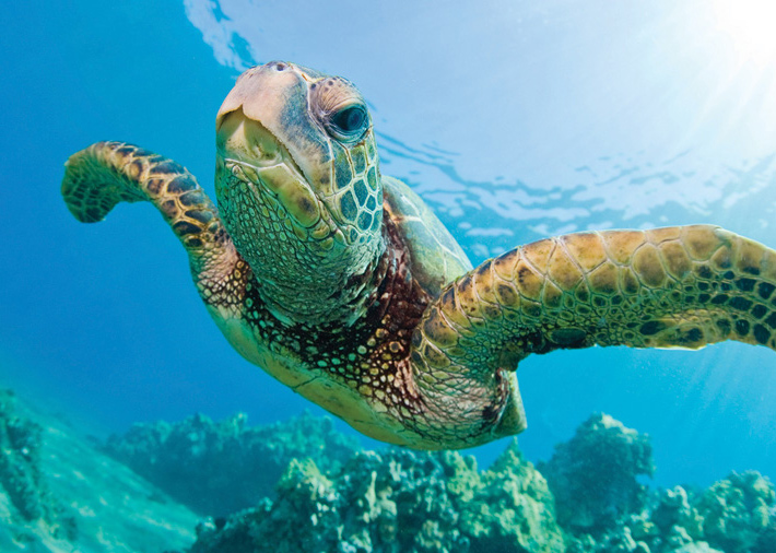 A green sea turtle swimming is something you can see while scuba diving in Bocas del Toro.