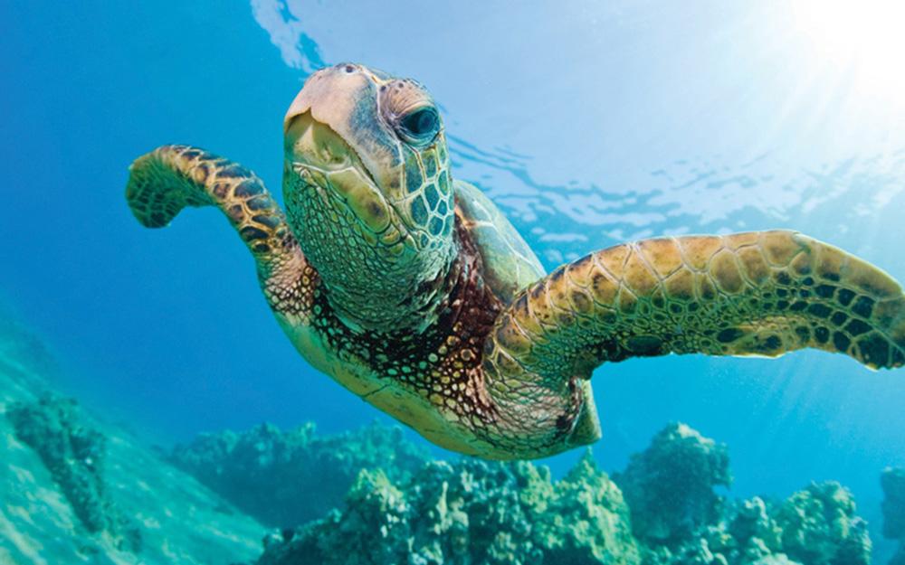 green-sea-turtle-swimming-bocas-del-toro
